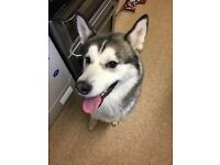 Male husky for rehoming £200