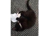 1/4 persion 9 week old kitten