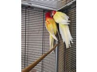 Pair of Rosella parakeets for sale.