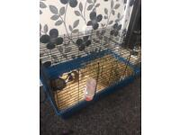 Two male guinea pigs with brand new indoor cage and also double outdoor hutch