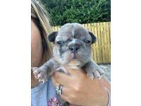 French bulldog puppies 🐶