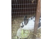 Rabbit plus hutch free