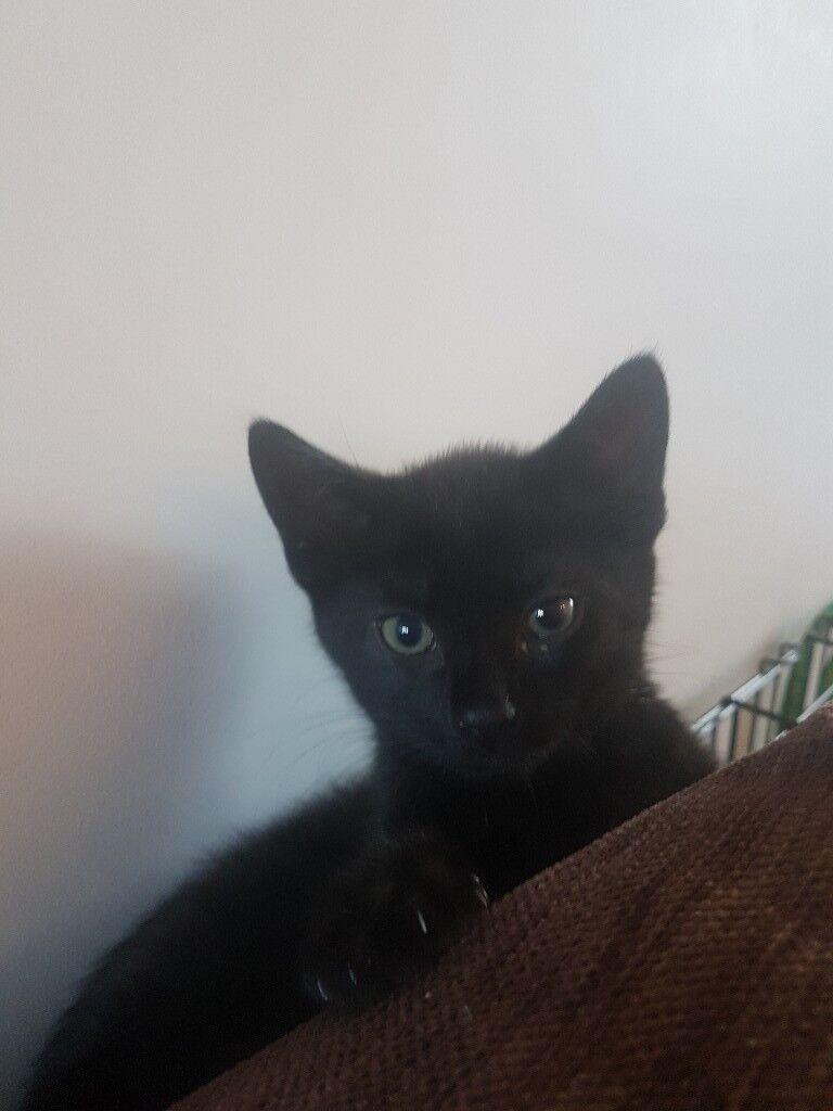 Black.male kitten 8 weeks old