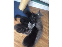 Available Saturday 22nd to take home Short haired cross - BRITISH BLUE kittens