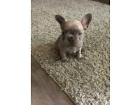 Lilac French Bulldog KC registered SOLD