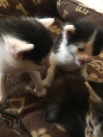 1 kitten ****DEPOSIT ONLY****