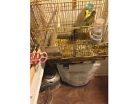 Male canaries for sale £15