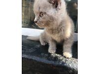 Gorgeous pedigree British short hair kitten