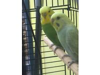 2 Beautiful Budgies, with cage and accessories
