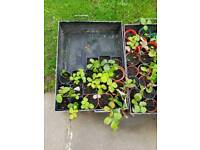 Young strawberry plants £5 for ten