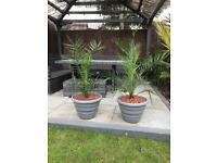 Palm plant Phoenix date palm large 42in