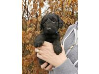 Beautiful unique Lurcherpoo (Lurcher X Poodle) puppies