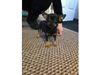 Chihuahua male puppy
