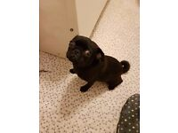 Very Nice Pug Dog Famale