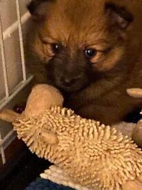 4 Male Pomeranian Puppies ready to go