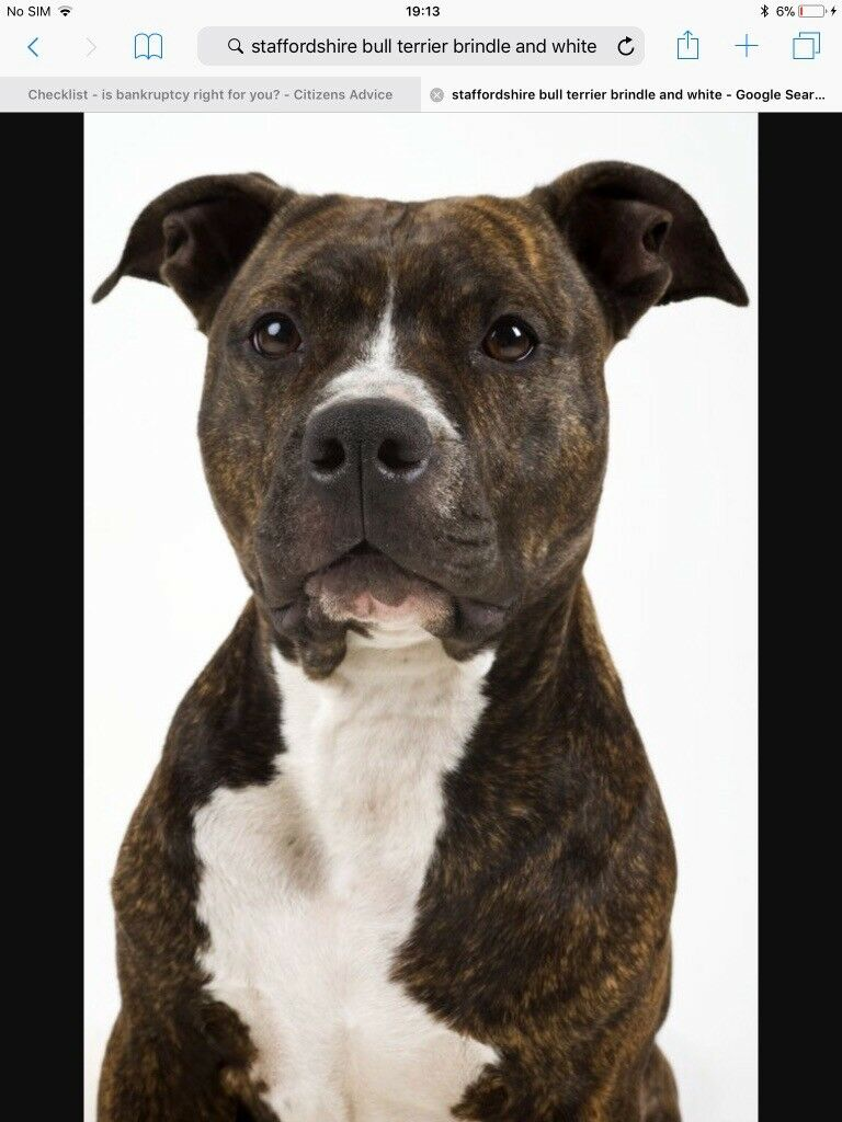 Staffordshire Bull Terrier Male
