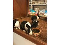 Young Dutch rabbits