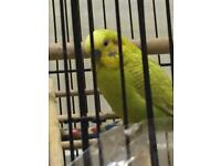 Lost male budgie