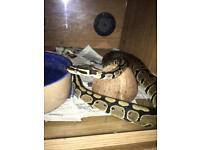 Male royal python and set up