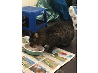 Very friendly dark tabby found in Base Green, Sheffield