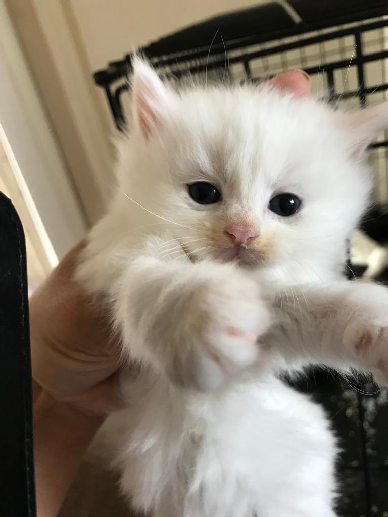 aa79630fa4 Turkish angora LAST ONE LEFT white kittens with blue eyes