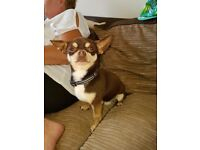 For sale 3yr old pure chihuahua male dog with kc papers