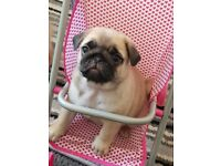 Chunky pug puppies forsale 32 champions in bloodlines