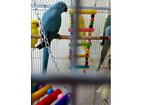 Indian ring neck parrot blue for sale