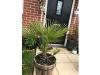 Hardy Dwarf fan palm in barrel pot