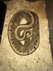 Male pinstrip royal python