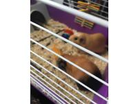 2 Guinea pigs, cage and all accessories food and bedding