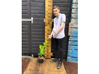 (50-70cm) Laurel Cherry Premium Hedges