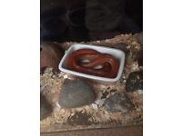 Corn snake and tank
