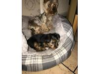 Yorkshire terrier puppies KC registered