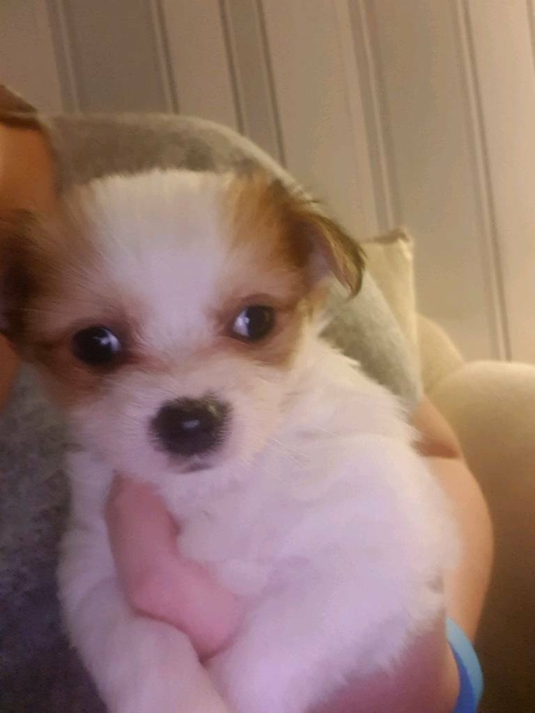 2 Beautiful Yorkie Cross Chihuahua Pups In Bridgwater Somerset