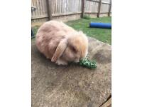 2 mini lop rabbits - baby boys