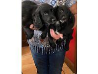 Spaniel cross pups for sale