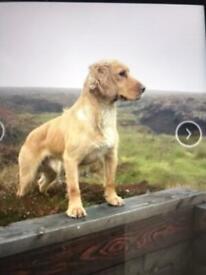 Stunning sprocker puppies for sale