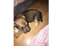 Male staff puppy for sale