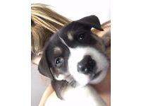 Husky cross puppy