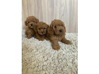 CAVAPOO-CHON PUPPIES 2GIRLS AVAILABLE NOW!!