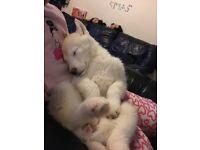Siberian huskey puppy