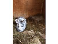 Female rabbit 2 yr old