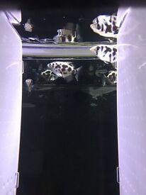 Perch-Archerfish cloud leopard