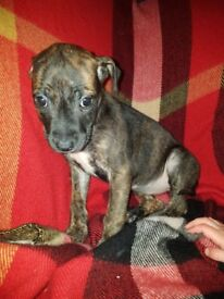 Staffie x lurcher puppy
