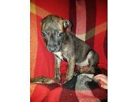 Staffie x lurcher puppy