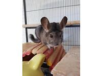 2 male chinchillas for sale