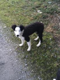 For Sale 2 Sheepdog pups