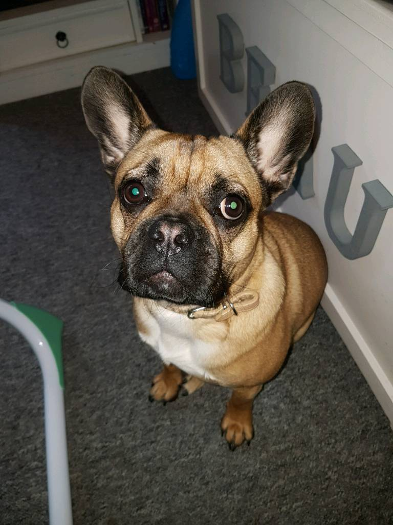 how to train a french bulldog not to bite