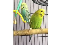 2 budgies for sale including cage, stand and all accessories £60